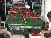 6XY-2新型樱桃选果机包装机 水喷淋式预冷机