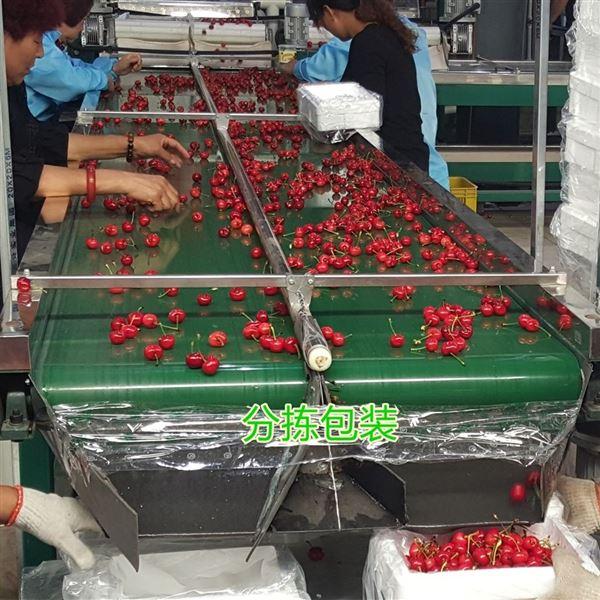 河北新型樱桃预冷分选机 选樱桃大小的机器