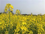 毯状育苗机械移栽技术助推油菜高产