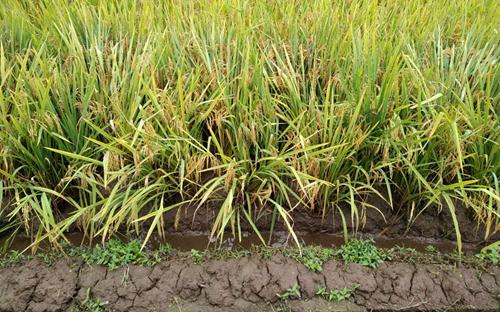 2019年我國早稻產量2627萬噸