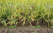 2019年我国早稻产量2627万吨