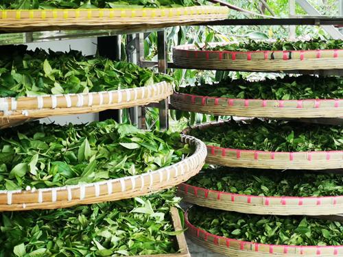 茶产业快速发展,果蔬茶机械成行业新的突破口和增长点