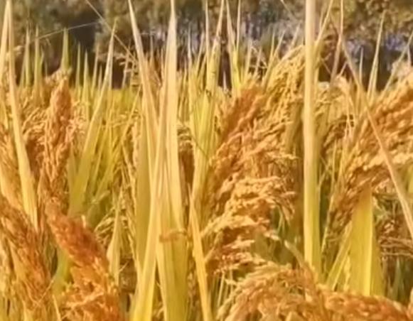 2019年全国粮食实现丰收,产量再创新高